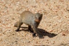 Соединенная прогулка младенца мангусты самостоятельно над песком Стоковые Фото