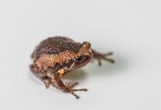 Соединенная лягушка быка на белизне Стоковая Фотография RF