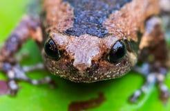 Соединенная лягушка быка на зеленых лист лотоса, Стоковое Изображение