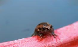 Соединенная лягушка быка на зеленых лист лотоса, Стоковое фото RF