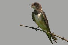 Соединенное Мартин (cincta Riparia) Стоковое фото RF