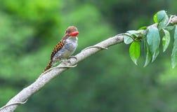 соединенный женский kingfisher Стоковые Изображения RF