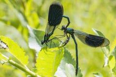 Соединенный Demoiselle (splendens Calopteryx) Стоковые Фото
