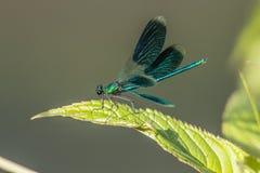 Соединенный demoiselle (splendens Calopteryx) стоковые фотографии rf