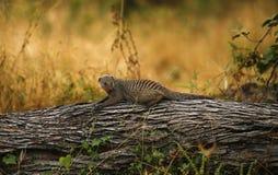 соединенный mongoose Стоковые Фото
