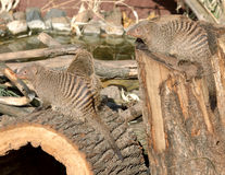 Соединенный mungo Mungos мангусты Стоковые Фото