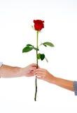 Соедините держать красную розу совместно на белой предпосылке Стоковые Фотографии RF