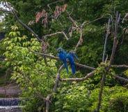 соедините попугая ары сидя на ветви дерева Стоковое Изображение