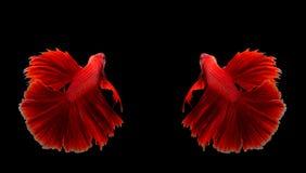 Соедините рыб красного дракона сиамских воюя, рыб betta изолированных дальше Стоковое Изображение RF