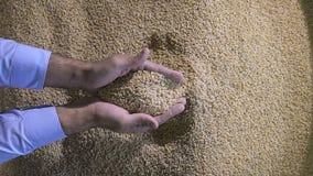 Сожмите, закройте вверх рук фермера держа зерна пшеницы видеоматериал