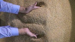 Сожмите, закройте вверх рук фермера держа зерна пшеницы акции видеоматериалы