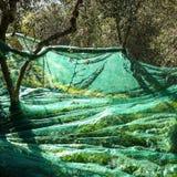 сожмите оливку Стоковое Фото