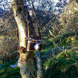 сожмите оливку Стоковые Фотографии RF
