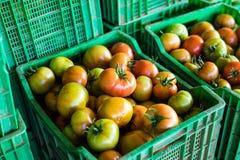 Сожмите томаты сбора томата томатов в зеленых пластичных коробках Стоковое Изображение RF