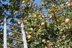 Сожмите яблока на дереве с лестницей стоковые фотографии rf
