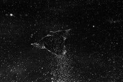 Созвездие кряквы Стоковое Изображение RF