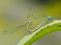 создавать сердце dragonfly Стоковые Фотографии RF