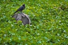 Созерцание вороны Стоковые Изображения RF