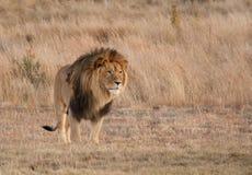 Созерцание льва стоковая фотография rf