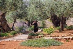 Созерцательный монах, сад на Gethsemane, Иерусалим, стоковое фото rf