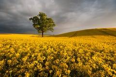Созревание рапса на поле во время захода солнца Стоковые Изображения RF