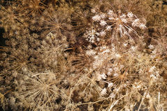 Созрейте коричневый зонтик фенхеля, малая глубина поля Стоковое фото RF