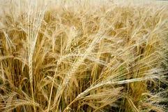 созрейте пшеница Стоковая Фотография RF