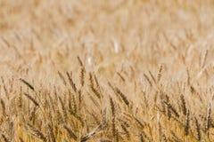 Созрейте пшеничное поле Стоковые Изображения