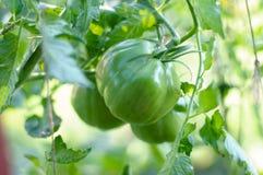 Созрейте томаты естественные на ветви Стоковые Фотографии RF