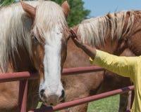 Созретая азиатская рука дамы касаясь голландской лошади проекта на конце-вверх фермы стоковое фото rf