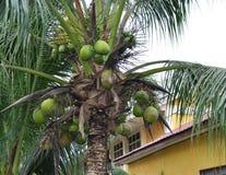 Созретая кокосовая пальма Стоковые Фотографии RF