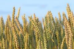 созретое готовое хлебоуборки зерна Стоковые Фотографии RF