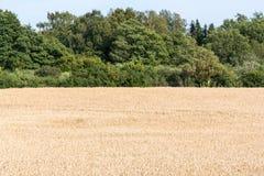 Созретое пшеничное поле лесом Стоковая Фотография