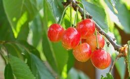 Созретые вишни на дереве Стоковые Фото