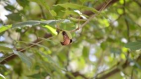 Созретые стержени гаек грецкого ореха готовых для того чтобы упасть с зеленой кожуры корки видеоматериал