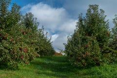 Созретые яблоки, яблоневый сад сосны, осень стоковое изображение