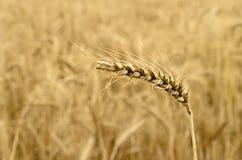 Созретый колосок пшеницы Стоковая Фотография RF