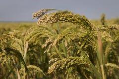 Созретый урожай пшена Стоковая Фотография