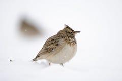 Созданный жаворонок в снеге Стоковое Изображение