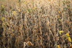 Сои на поле Стоковые Изображения RF