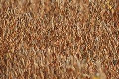 сои поля Стоковые Изображения