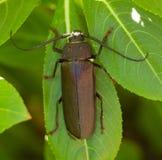 Сойер сосенки жука Стоковая Фотография