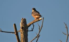 Сокол Мерлина сидя в дереве на заходе солнца стоковое фото rf