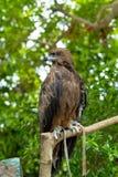 Сокол стоя на пне дерева Стоковые Изображения RF