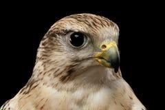 Сокол Saker конца-вверх, cherrug Falco, изолированное на черной предпосылке Стоковое Изображение