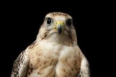 Сокол Saker конца-вверх, cherrug Falco, изолированное на черной предпосылке Стоковые Фотографии RF