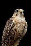 Сокол Saker конца-вверх, cherrug Falco, изолированное на черной предпосылке Стоковое Фото
