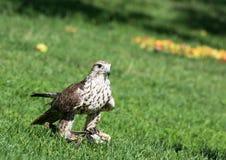 Сокол Saker (cherrug Falco) на траве стоковая фотография