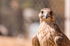 Сокол Saker Cherrug Falco Сокол близкий вверх в арабе стоковое изображение rf