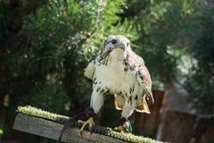 Сокол Saker (cherrug Falco) стоковая фотография rf